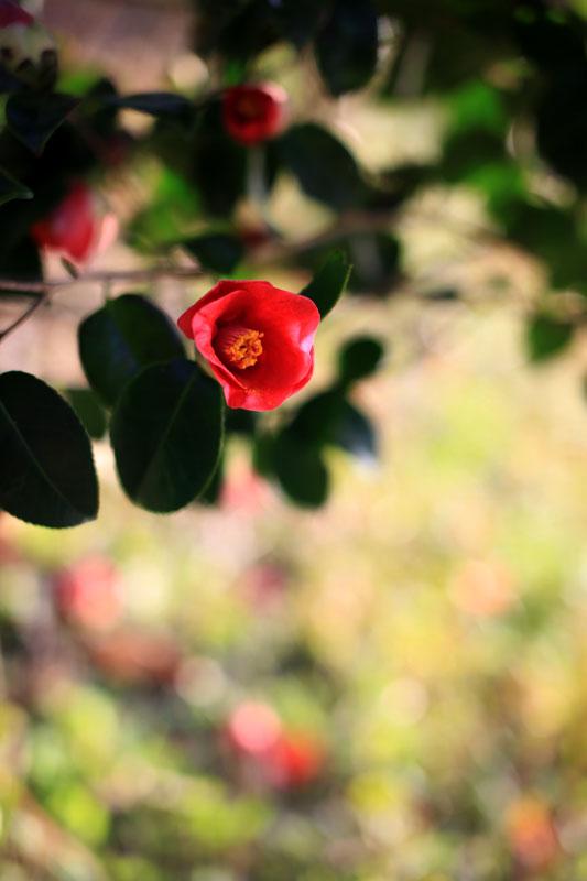 椿咲く春なのに