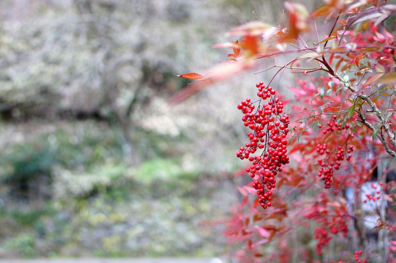 春光の 撓に実りし 紅い実よ