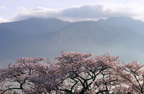 桜 その五