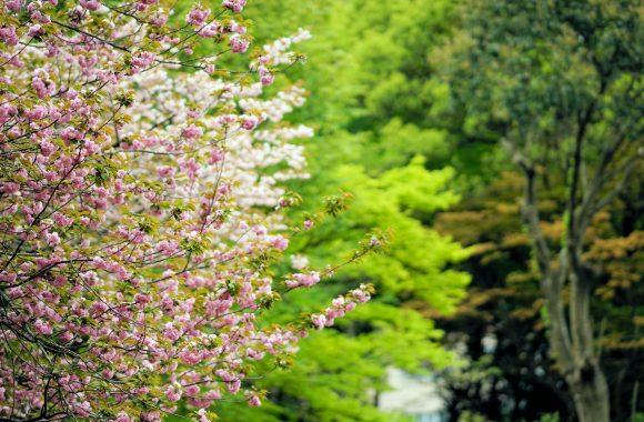 桜 その壱