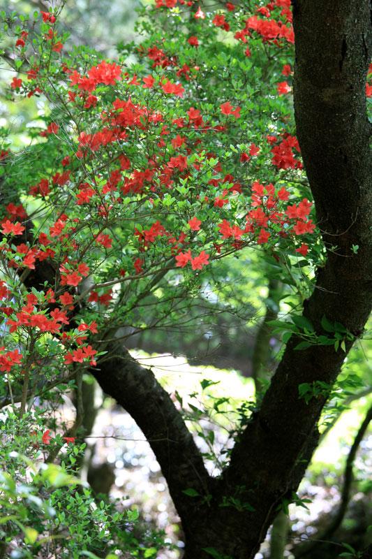 桜木に そっと寄り添う 赤つつじ