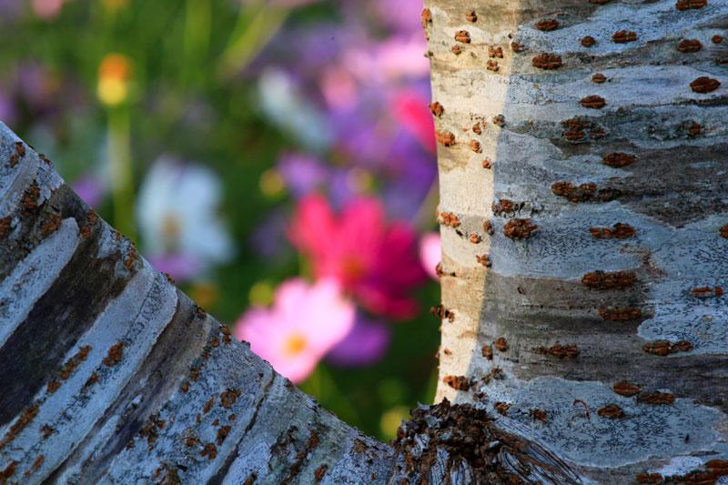 さくら木に やわい光射す 秋桜