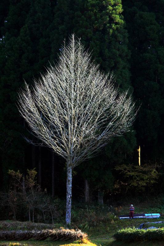 西日射す 大木の脇で 一休み