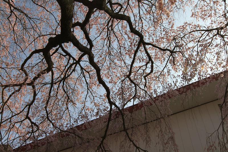 山仕事 桜暖簾(のれん)を くぐりつつ at  Gokase Kumamoto