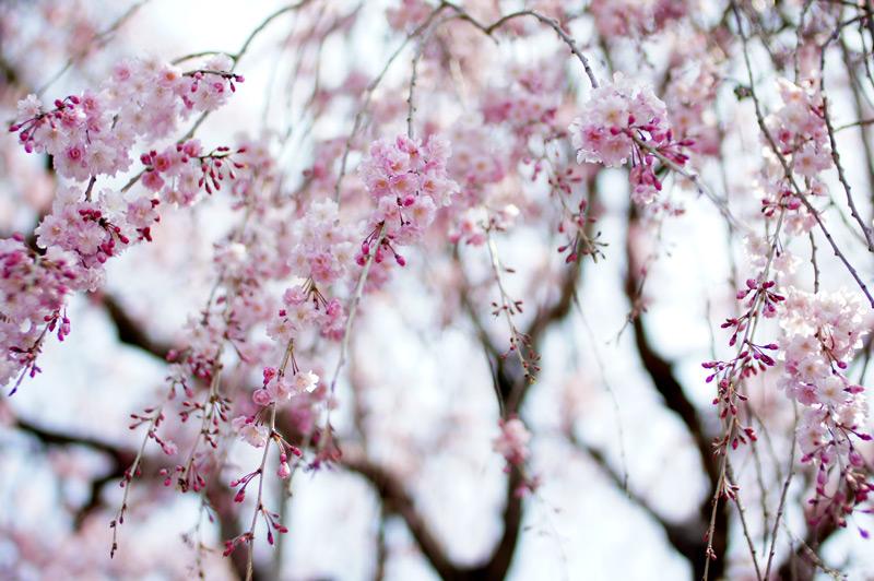 春爛漫 枝垂桜も 国宝級  at Kakiemon-gama Arita (柿右衛門窯に咲く枝垂桜)