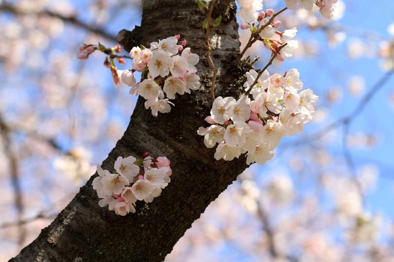 咲き始め 薄いピンクに 染まる頃  at enoji saga