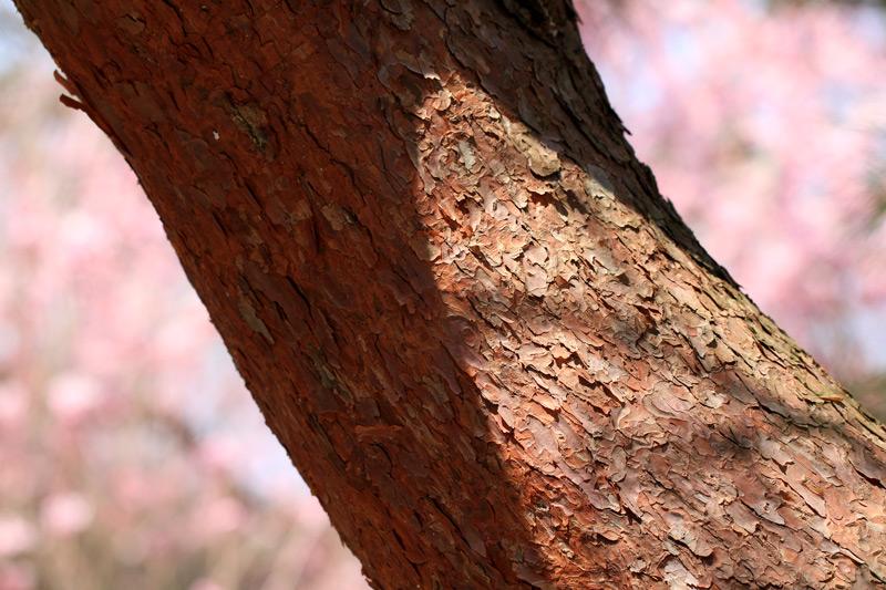 赤松や しだれ桜に 包まれし at Kakiemon-gama Arita