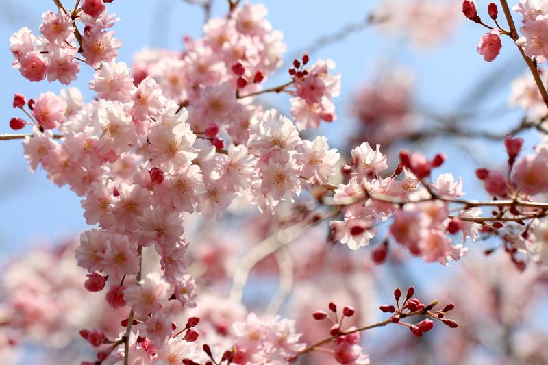 見上げれば しだれザクラと 春の空 at Kakiemon-gama Arita