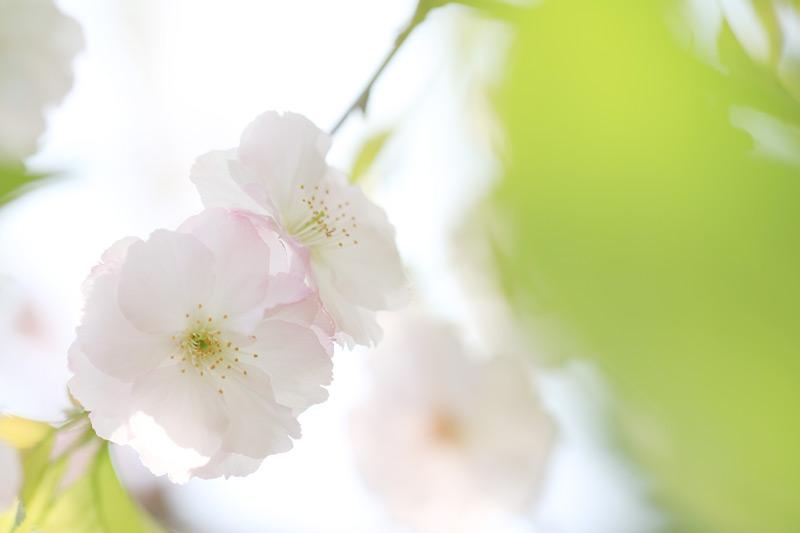 透かしたる 淡い花びら 八重桜  at Fukagawaseiji Arita