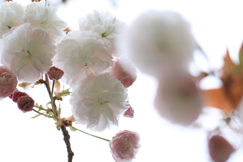 子供より 大人は色白 人と花 at Ashikita Kumamoto