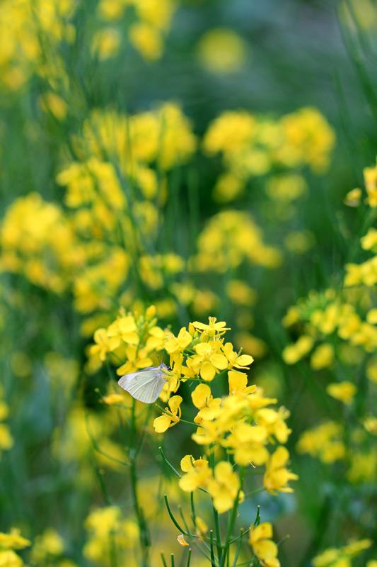 さなぎから 孵ったばかりの 紋白蝶  at Ashikita Kumamoto