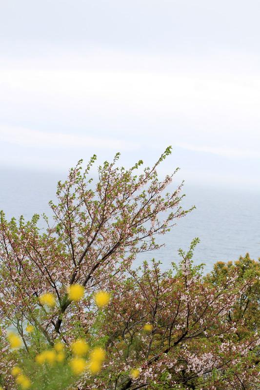 散る桜 残る桜も 散る桜(良寛) at Ashikita Kumamoto