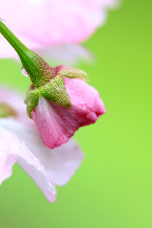 咲くさくら いまだ蕾も 咲くさくら  at Ashikita Kumamoto