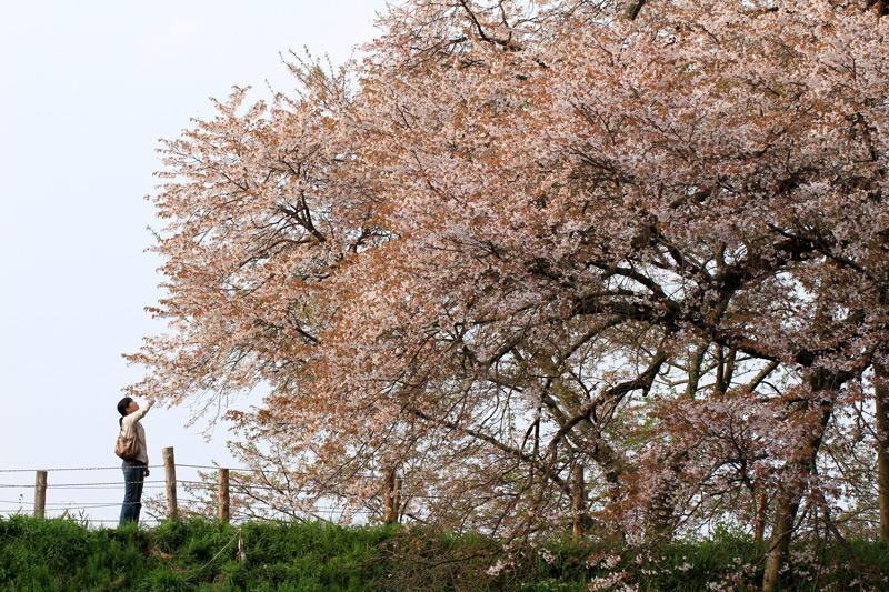 見上げれば 散り行く桜 名残惜し at Asai-no-ipponsakura Kurume