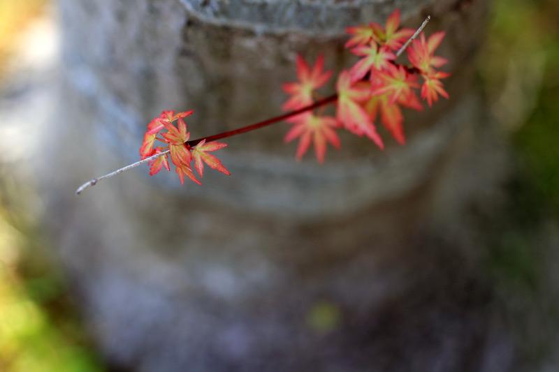 新しき芽 未来のために 桜散り at Hakozaki-gu Fukuoka