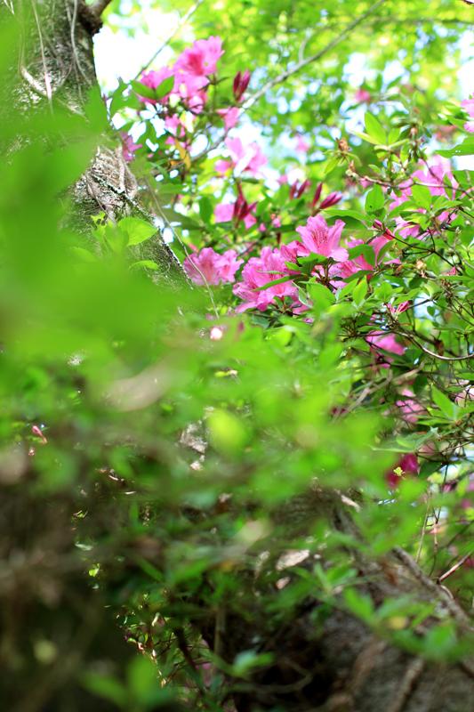 陽春に 若葉と共存 つつじかな at Mifuneyama saga