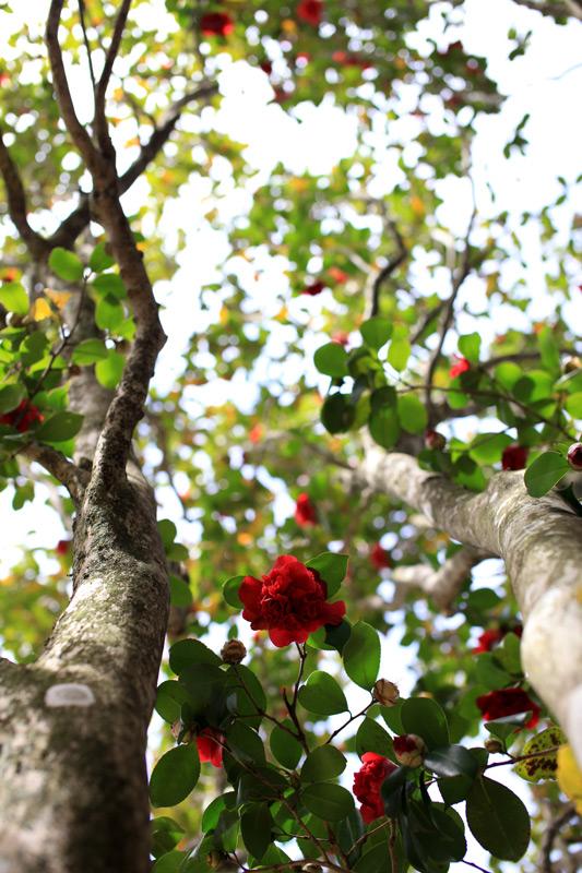 春日和 大きな花弁 椿咲く at Hikosan Fukuoka