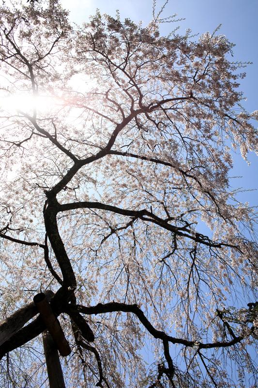 下を向く しだれ桜も 眩しくて at Hikosan(守静坊) Fukuoka