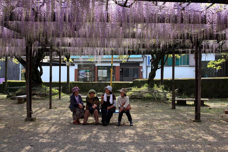 熟女らは 藤の花より おしゃべりか at Kurogi Fukuoka