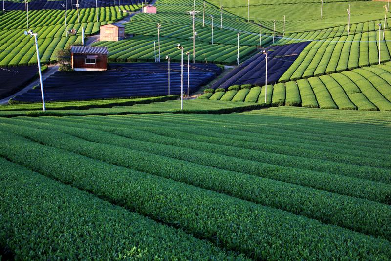 西日射す 緑豊かな 茶畑に at Yame Fukuoka