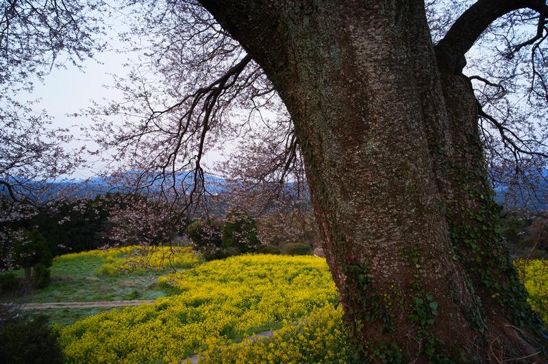 菜の花と 百年ざくら 競い合い at Takeo Saga
