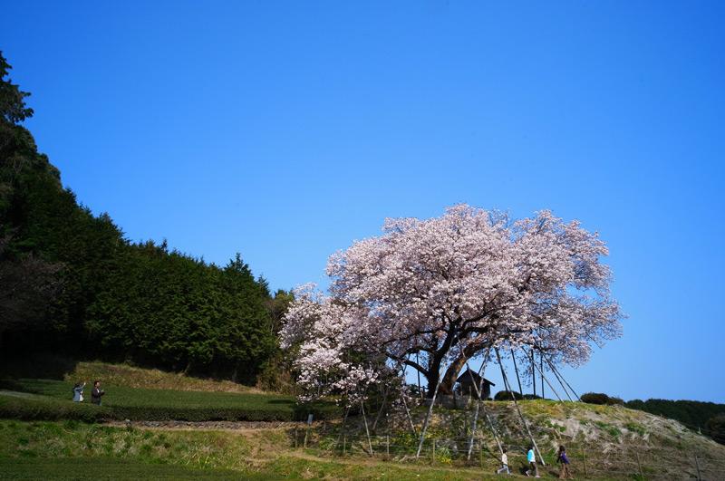 気を付けて 子供見下ろす 大桜 at Ureshino Saga