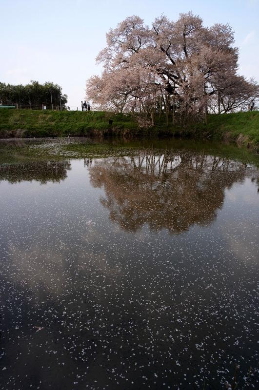風吹かば 池に散りたる 春の雪 at Asai-no-ipponzakura Kurume