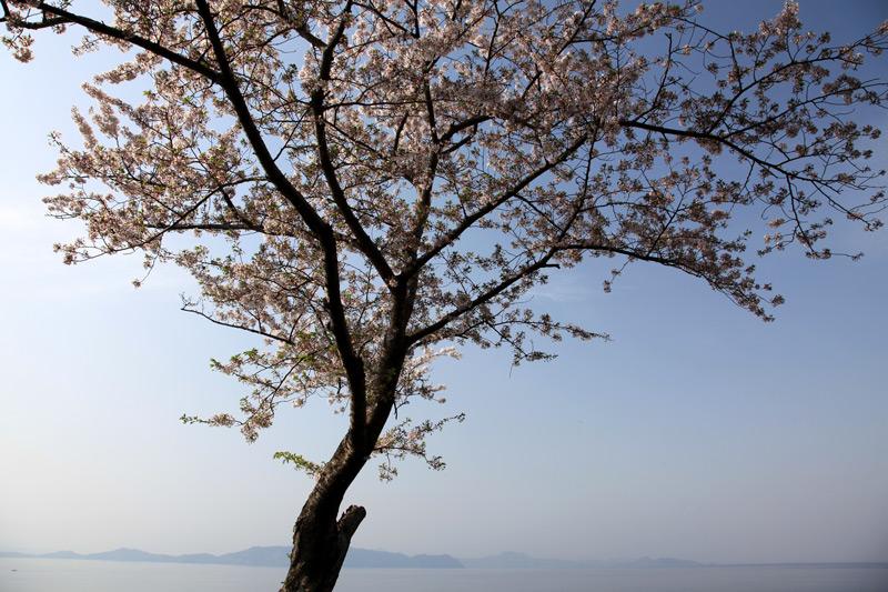 島影を 遠くに望み 桜立つ  at ashikita kumamoto (単純な写真ですが、何故か惹かれます。)