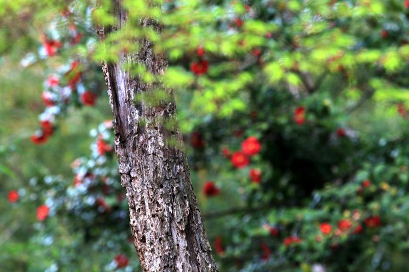 山間の 新緑の中 椿咲く at hikosan fukuoka