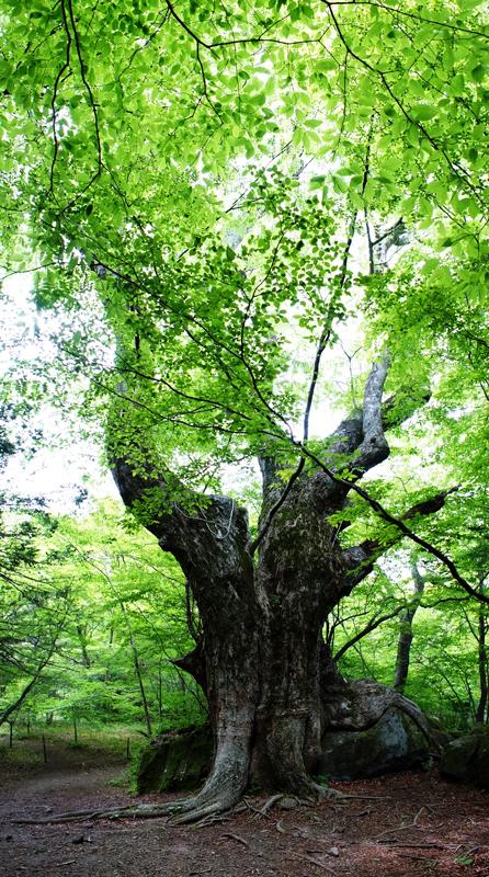 神宿る 岩をも包む 古木なり  at Yufu Oita パノラマ撮影(縦方向)