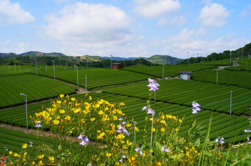 茶摘終え 夏も近づく 五月空 at Yame Fukuoka