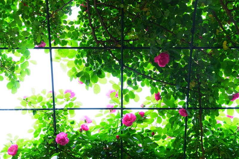 眩しさに 俯き加減 ばらの園  at Hita Oita(天瀬ローズガーデン)