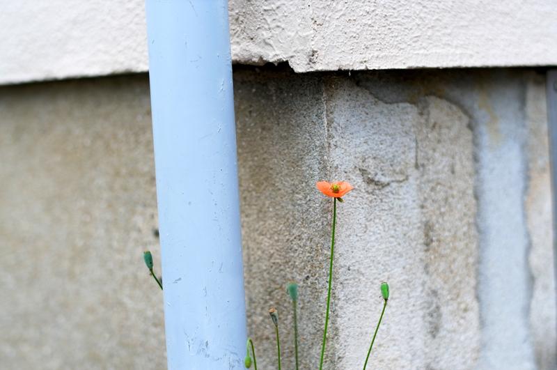 路傍にて 赤く咲くのは ケシの花  at Minamiku Fukuoka