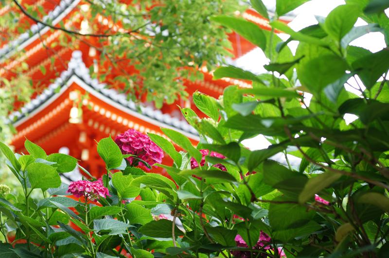 紫陽花や 競うつもりの 五重塔  at Hakata-ku Fukuoka(東長寺)