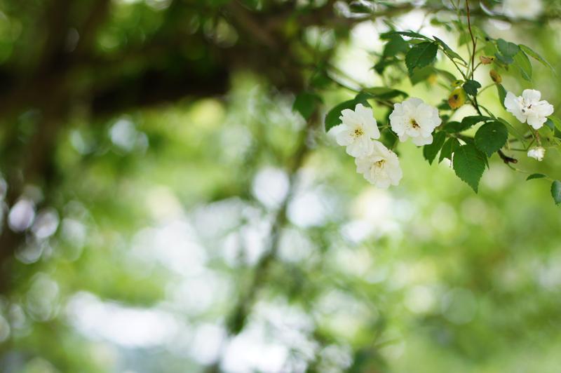山あいに ひっそり佇む バラ屋敷  at Syobara Hiroshima