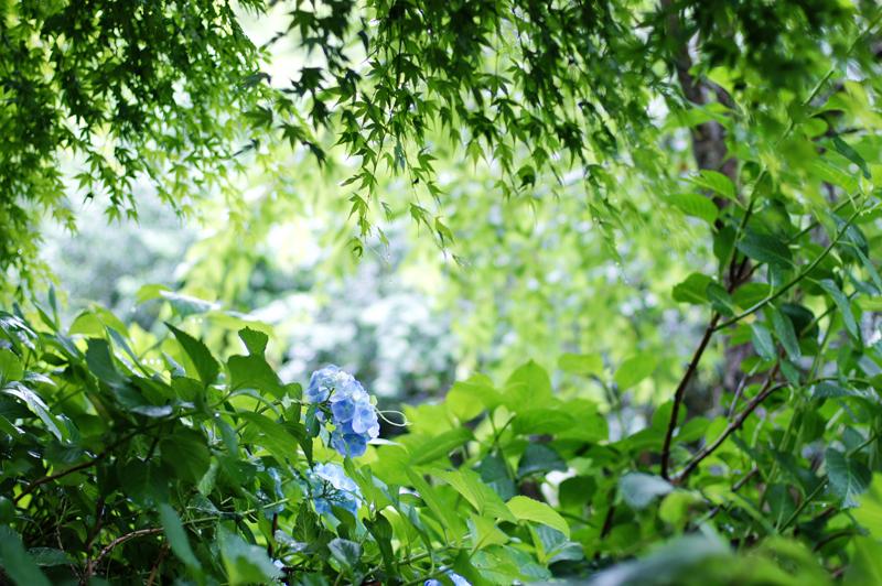 私好き 紫陽花の色 淡き青  at Izumi Kagoshima(東雲の里Ⅱ)