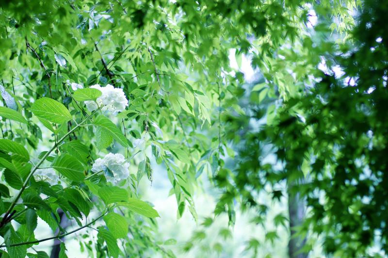 梅雨あかり 白き紫陽花 同化する  at Izumi Kagoshima(東雲の里Ⅱ)