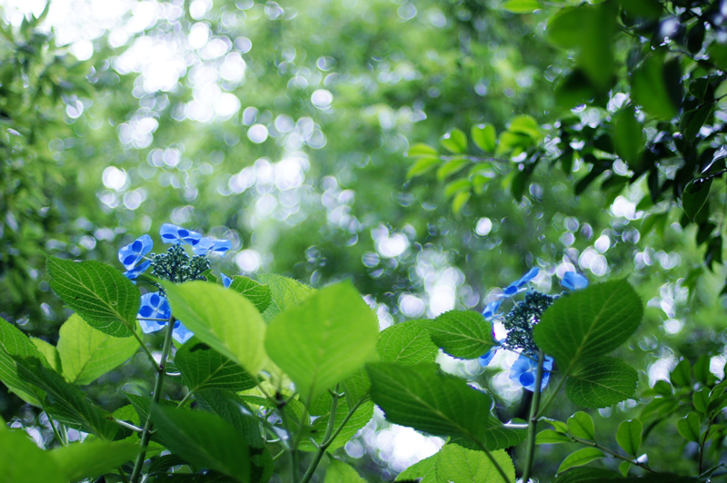 重なりて 濃淡ありし 青い花  at Izumi Kagoshima(東雲の里Ⅱ)