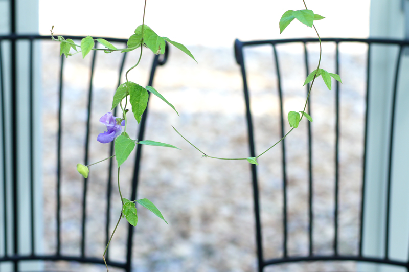 紫の 花を求めし 蔦の葉も  at Okagaki Fukuoka