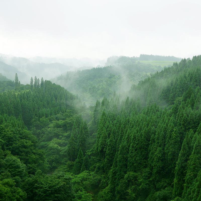 霧雨が 低く垂れ込む 杉林  at Oguni Kumamoto