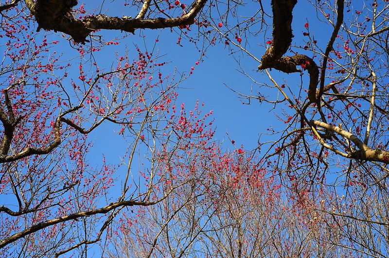 at Kama Fukuoka(安国寺梅林公園)