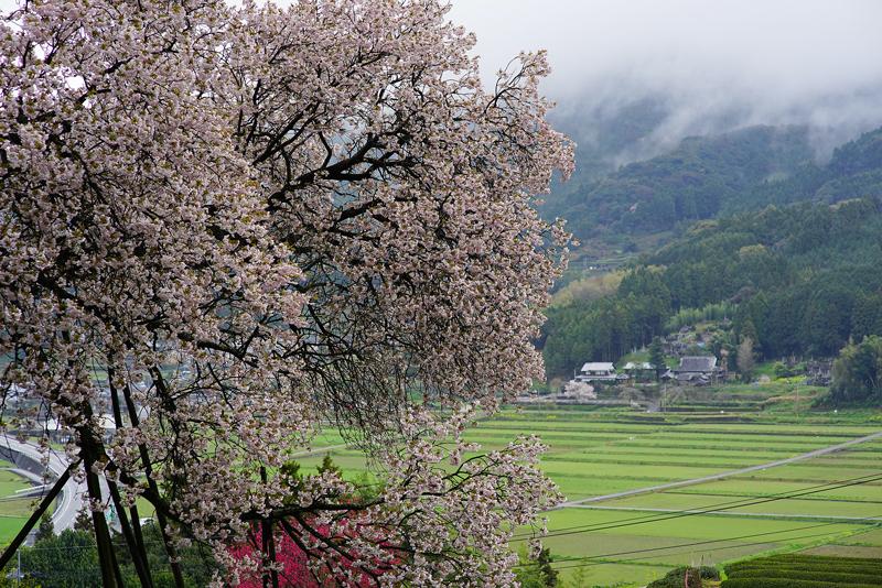 at Ureshino Saga(納戸料桜)