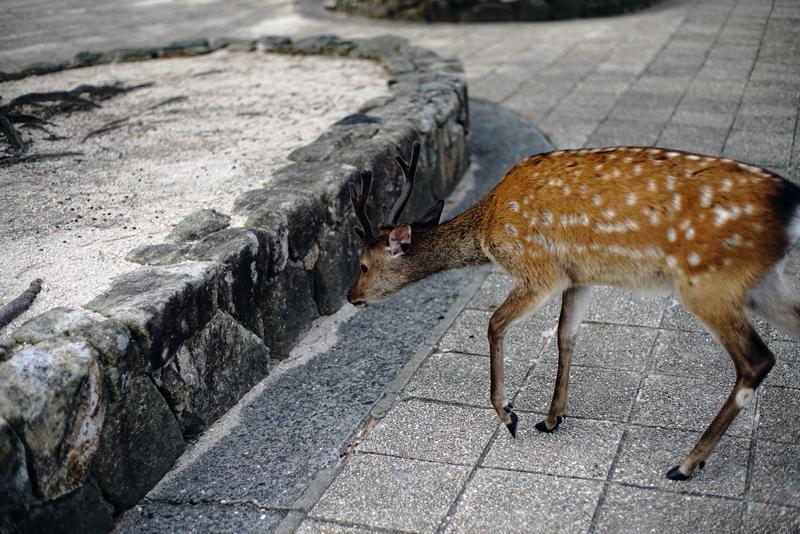 at Miyajima Hiroshima