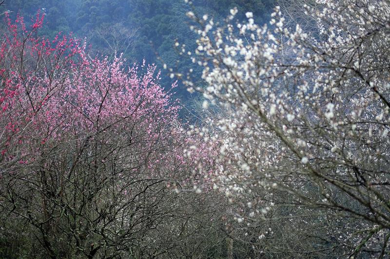 at Kitakyusyu Fukuoka(白木谷梅林)