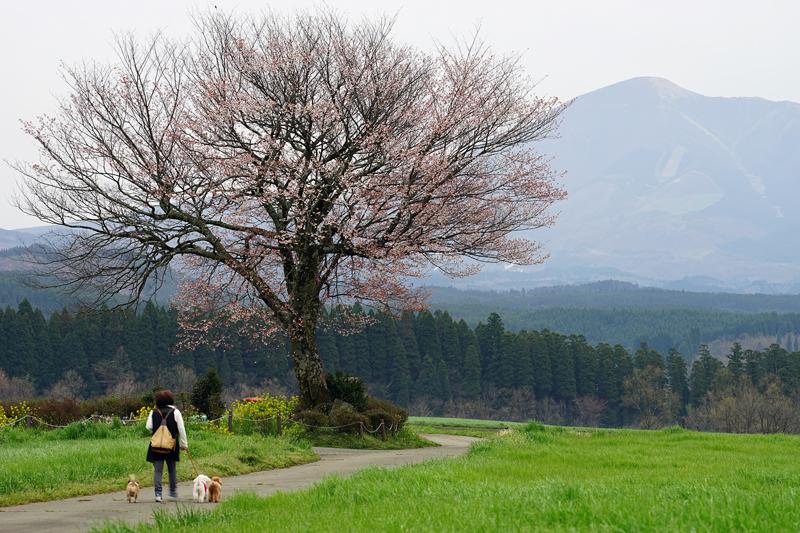 at Oguni Kumamoto(前原一本桜)