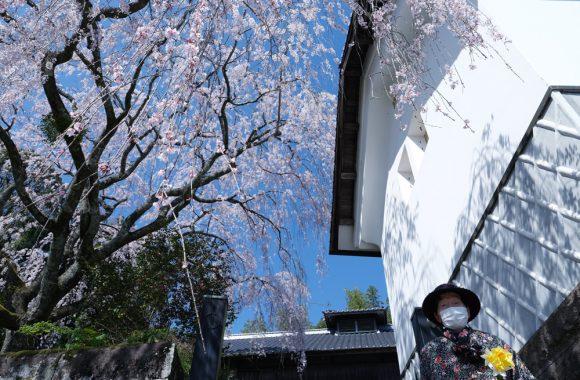 桜 その十(2021年)